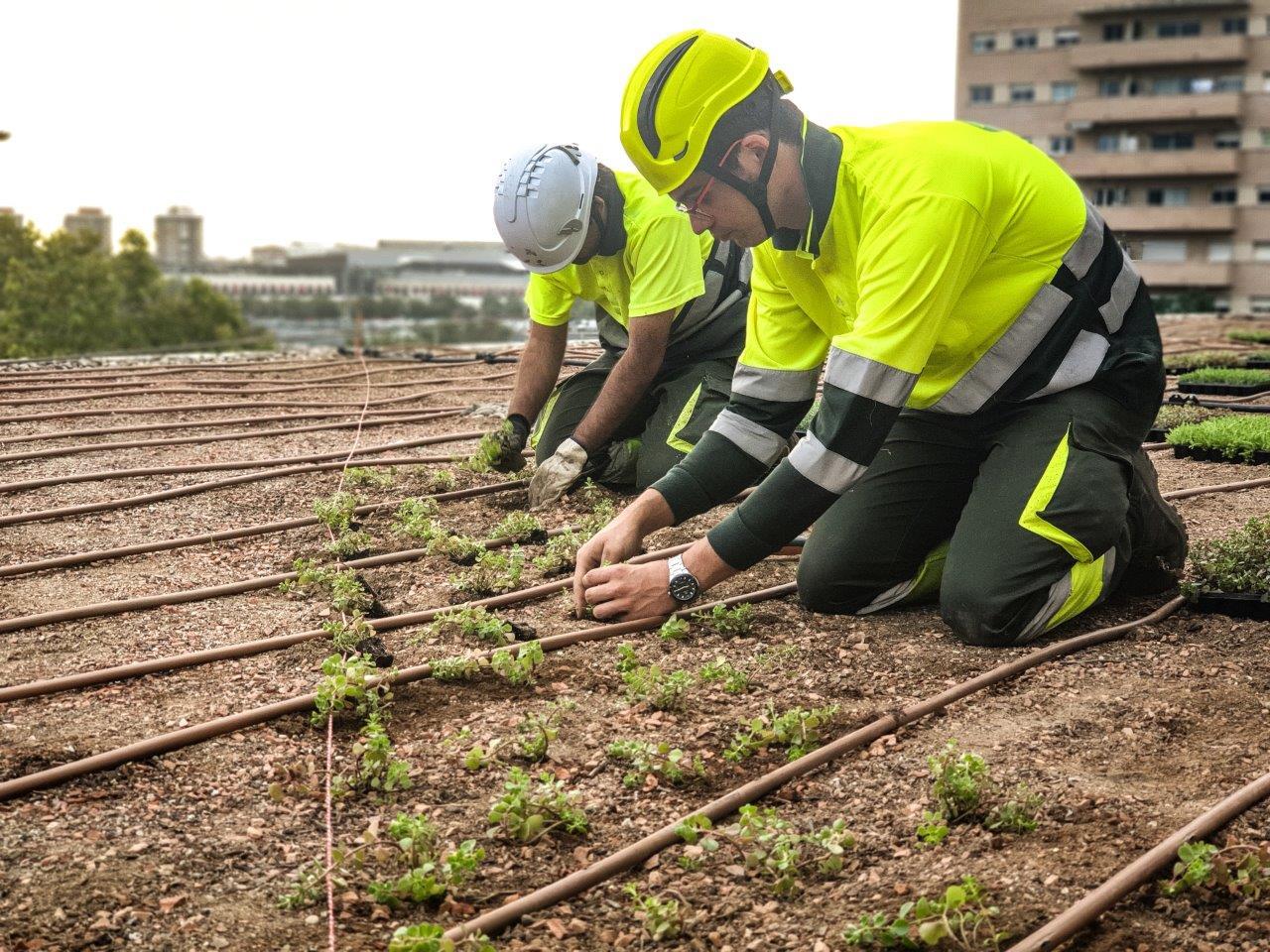 Dos persones treballadors de TEB Verd plantant la Coberta Verda.